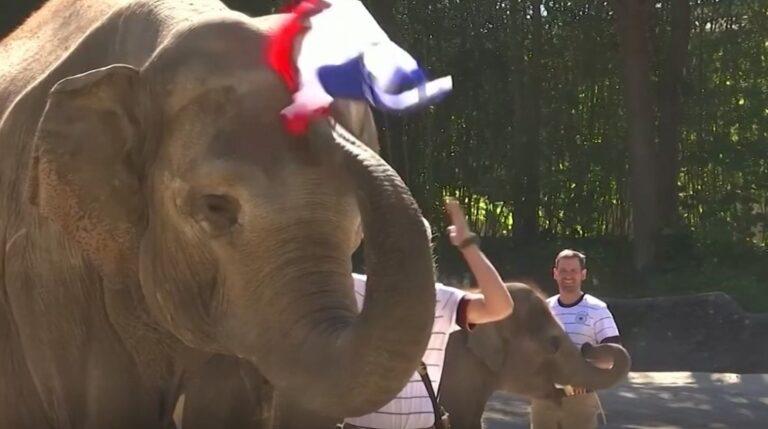 Elefanti fallxhor parashikon ndeshjen Francë-Gjermani